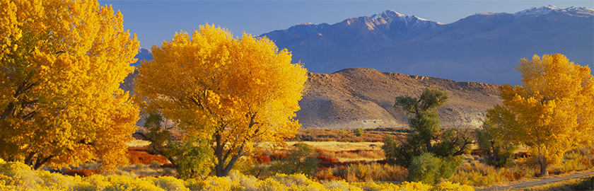 photo of autumn cottonwood trees in the Owens Valley, Bishop, California