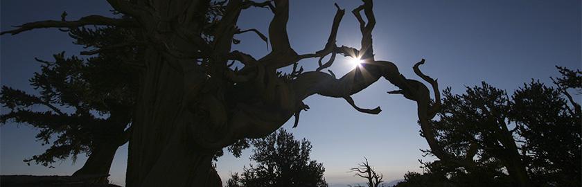 photo of Sunrise through a 4,000-year-old bristlecone pine, Joshua Tree, California