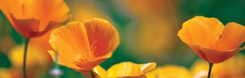 photo of California poppies
