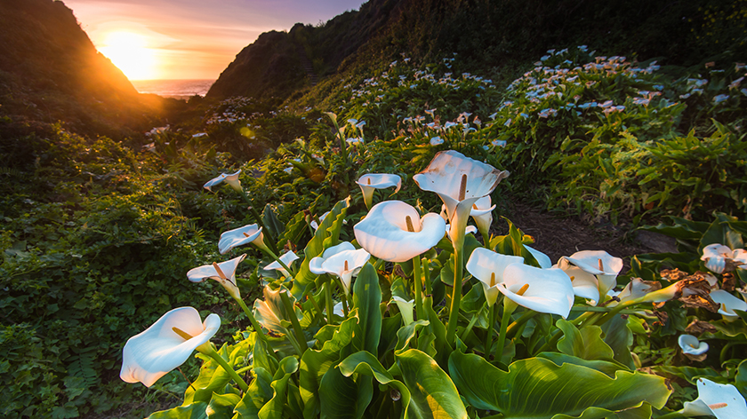 photo of Wild Callas at the Pacific Ocean